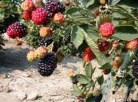 caneberry