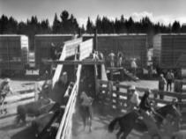 18.Cattle Transportation