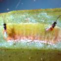 2 parasitoids